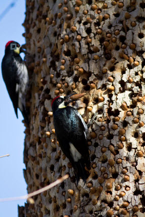 Caching Acorn Woodpeckers