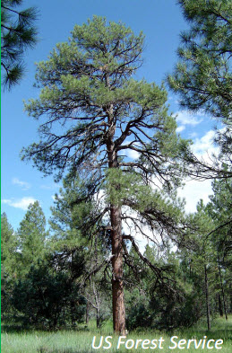 Healthy Open Ponderosa Forest