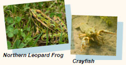 Northern Leapard Frog and Crayfish