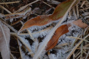 Frost on dead willow leaves at Edler Lake.
