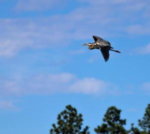 This Great Blue Heron was at Woodland Lake.