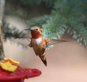 This Rufous Hummingbird was taken near the feeder on our front deck in Pinetop.