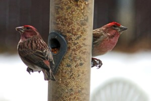 2 male Cassins finches at feeder in our back yard, Branding Iron Loop