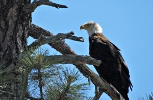 A magnificent Bald Eagle at Woods Canyon Lake.