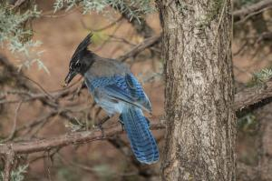 A Stellar's Jay taken from the porch of our cabin in Pinetop.