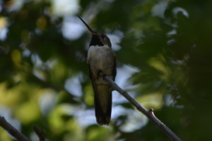Hummingbird at Edler lake