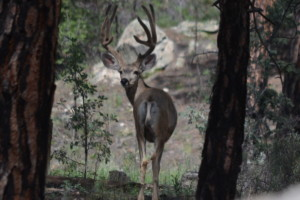 Mule deer buck in velvet, White Mountain Apache Reservation