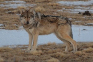 Mexican gray wolf at sunrise.