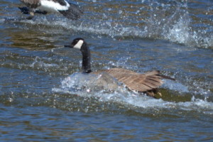 Canadian goose at Edler lake.