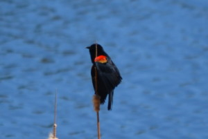 Red winged black bird at Edler lake.