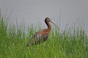 One of 10 White Faced Ibises at Pintail lake.