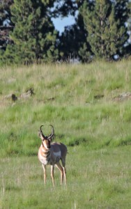 This Pronghorn was found along Hwy260 between Pinetop and Springerville. (He won the staring contest.)