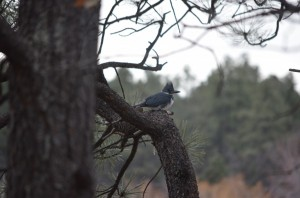 Belted kingfisher at Edler Lake outside of our house.