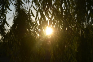 Sunset through willow leaves at Edler lake.