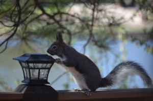 Grey squirrel at Edler lake.