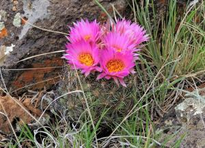 Small flowering cactus nestled on the west side of a rock at Telephone Lake.