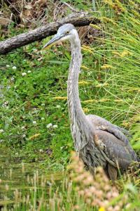 Great Blue Heron at one of the ponds at the beginning of the Old Hatchery trail.