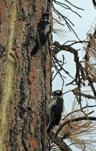 A pair of Hairy Woodpeckers searching for insects on a Ponderosa Pine at Fool Hollow State Park.