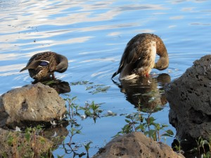 Ducks at Woodland Lake