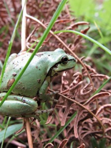 Green frog at Earl Lake