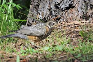 Juvenile Robin on the Old Hatchery trail in Pinetop.