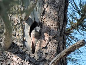 At Woodland Lake Park, a young Lewis's Woodpecker is taking a look at the outside world (and probably wondering when Mom or Dad was coming with breakfast!).