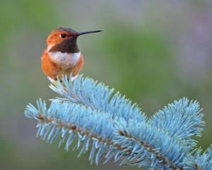 Rufous Hummingbird on Spruce tree outside our cabin in Pinetop.