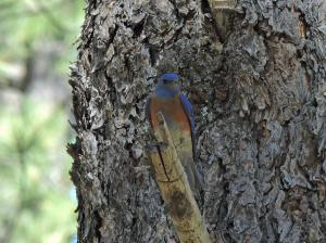 Western Bluebird on the Billy Creek trail.